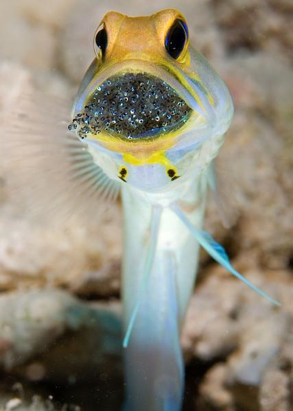 Yellowheaded Jawfish with hatching eggs, Bonaire