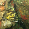 Black and Yellow Rockfish