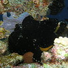 Giant frogfish on The Pinnacle