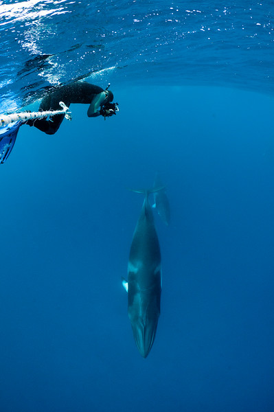 Dwarf Minke Whales at Two Towers
