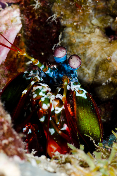 Mantis Shrimp at Lighthouse Bommie