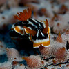 Nudibranch on Holuthurian