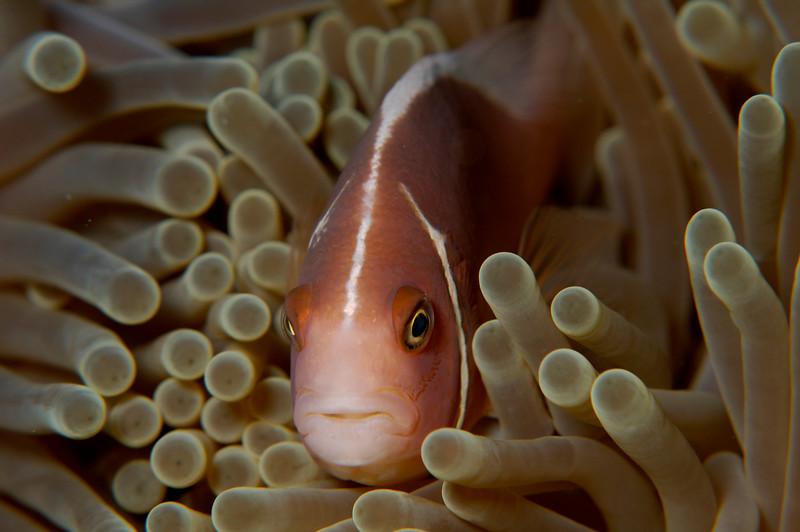 Anenome Fish, Pink