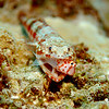 Lizardfish eating Pixie Hawkfish