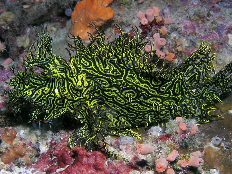 Rhinopias scorpionfish at Pixie Pinnacle