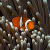 Clown Anemone Fish at Steves Bommie