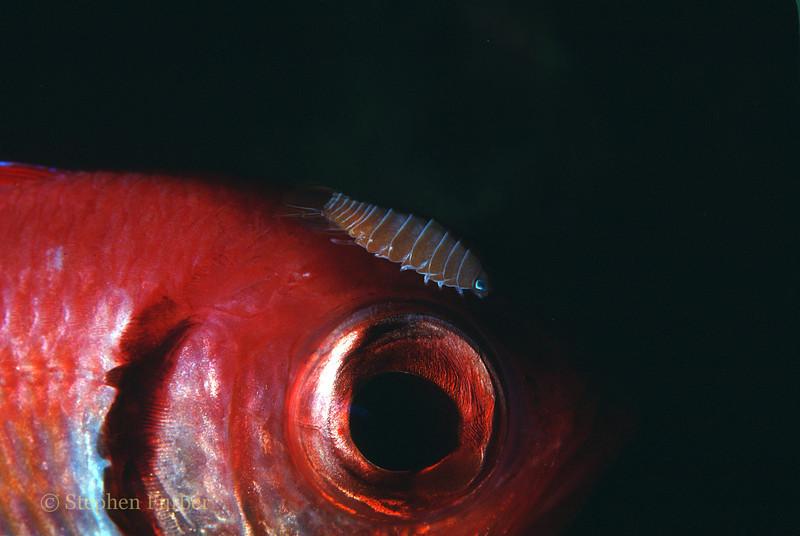 BLACKBAR SOLDIERFISH - Sporting an Isopod on its forehead