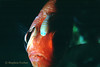 BLACKBAR SOLDIERFISH - Sporting an Isopod on its forehead