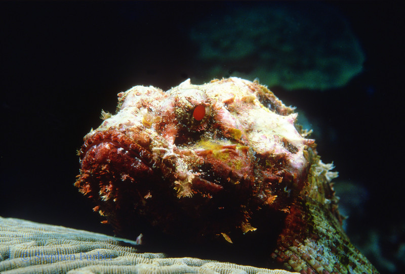 SPOTTED SCORPIONFISH - Lie motionless, blending with background