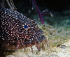 SPLENDID TOADFISH - Rare; endemic to Turneffe Atoll, Belize