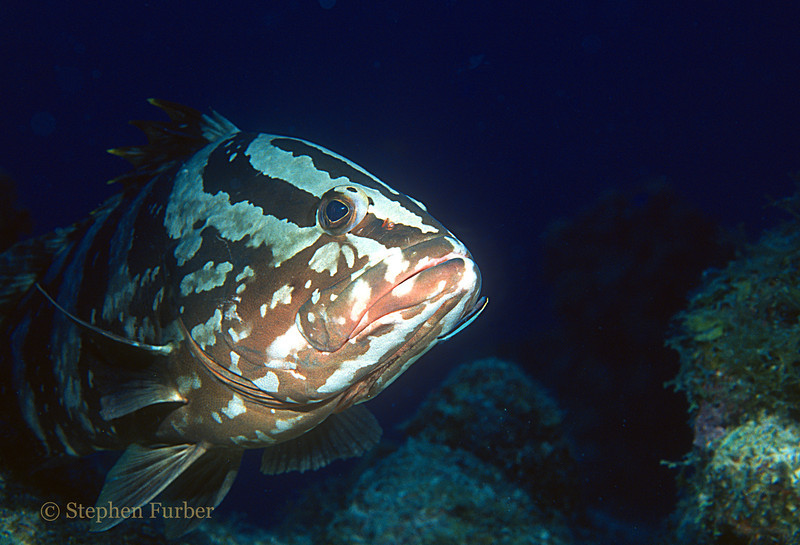 NASSAU GROUPER - Oftern rest on bottom; tend to be curious