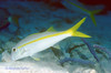 YELLOW GOATFISH - Uses barbels to dig in sand and rubble for food