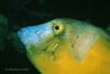 WHITESPOTTED FILEFISH - Orange phase; has two distinct color phases (the other with white spots)