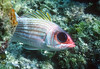 LONGJAW SQUIRRELFISH