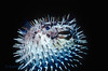 BALLOONFISH - Shy; retreat to protected areas