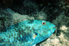 PARROTFISH - Night dive; he was sleeping and I just woke him up