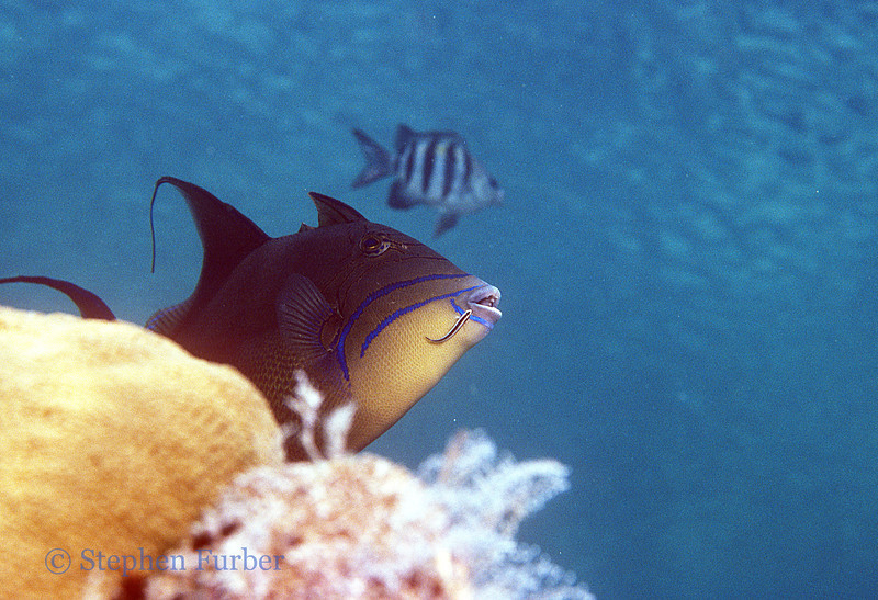 QUEEN TRIGGERFISH - getting a cleaning!