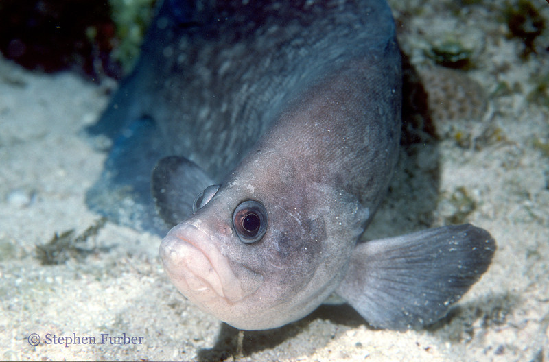 GREATER SOAPFISH - Name comes from the fact they secrete a soap-like toxic mucus like substance; found resting on bottom and ledges