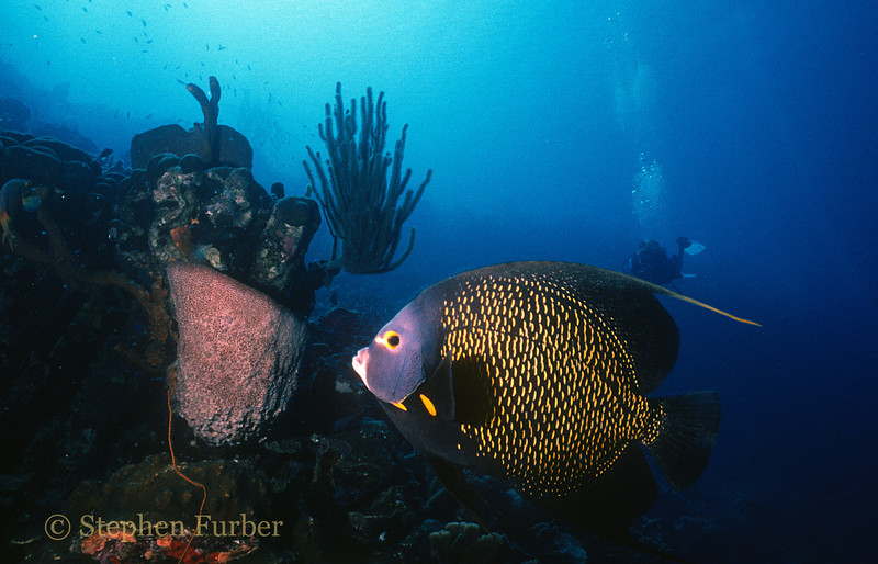 FRENCH ANGELFISH - Often seen swimming in pairs