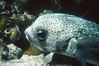 PORCUPINEFISH - Shy; can pale or darken. Hang out near recesses and cave openings