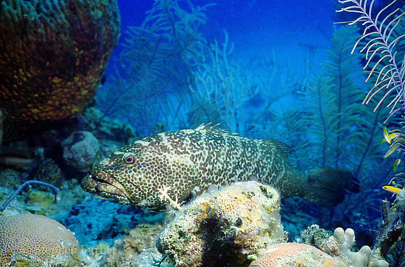 TIGER GROUPER - Often found resting on the bottom in secluded spots; somewhat shy