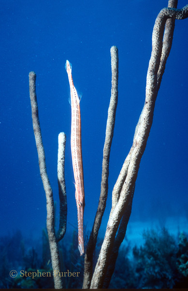 TRUMPETFISH - Often drift in vertical position, head down, parralleling stalks of sea rods as camouflage