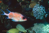 LONGJAW SQUIRRELFISH - Drift in shaded areas near bottom