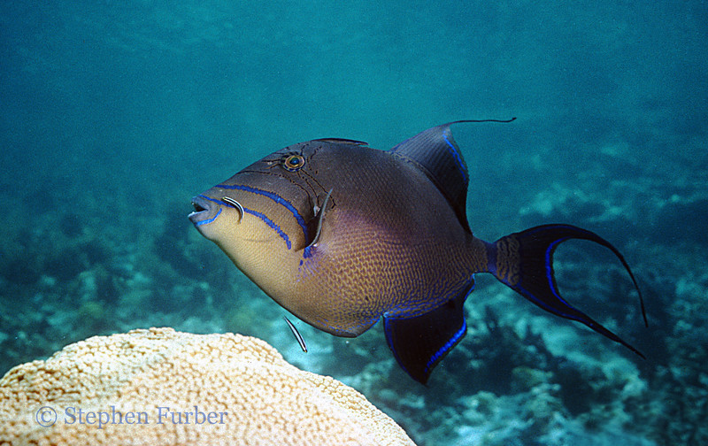 QUEEN TRIGGERFISH - At a cleaning station