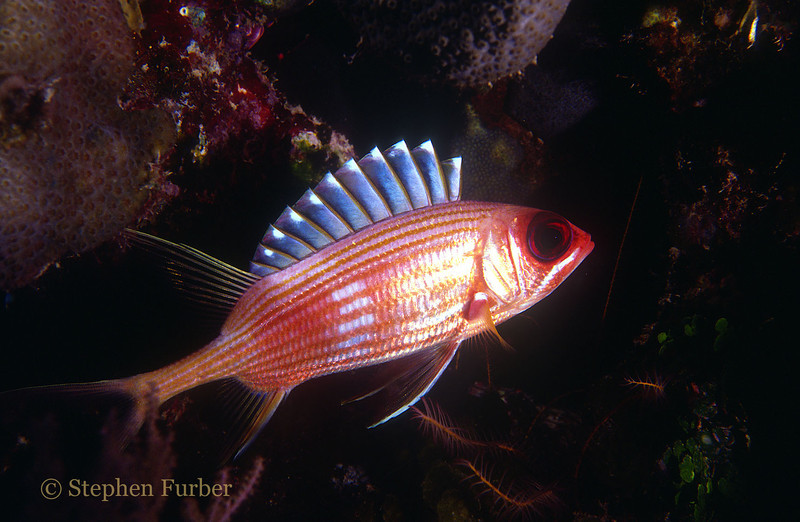 SQUIRRELFISH - Common; drift in shaded areas