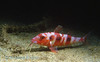 SPOTTED GOATFISH - Red resting phase
