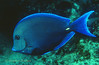 BLUE TANG - Very common in range; often seen swimming in schools