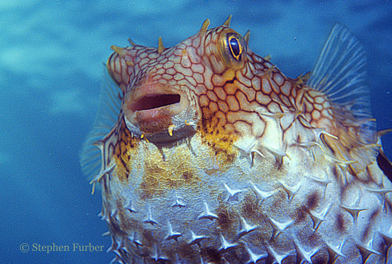 BRIDLED BURRFISH - Rare; pupil has irridescent blue-green specks and spines are always erect