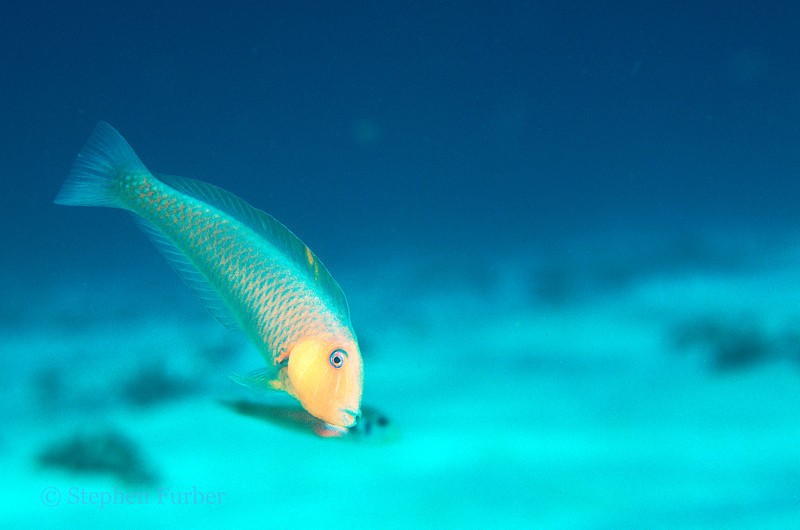ROSY RAZORFISH - Hover above the sandy bottom; if they are threatened can dive into the sand and disappear