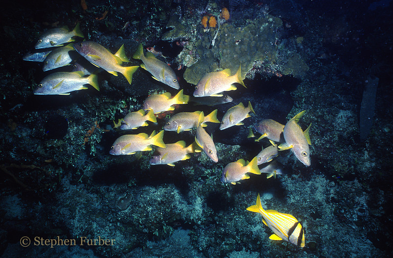 SCHOOL OF WHITE GRUNTS & A PORKFISH (lower right)