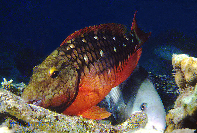 STOPLIGHT PARROTFISH - Adult; crunching on the coral