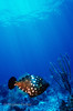 WHITESPOTTED FILEFISH - Has two distinct colors phases; gray-brown to yellowish-brown with white spots