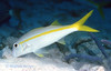 YELLOW GOATFISH - Use barbels to dig in the sand and rubble for food; often seen in small groups