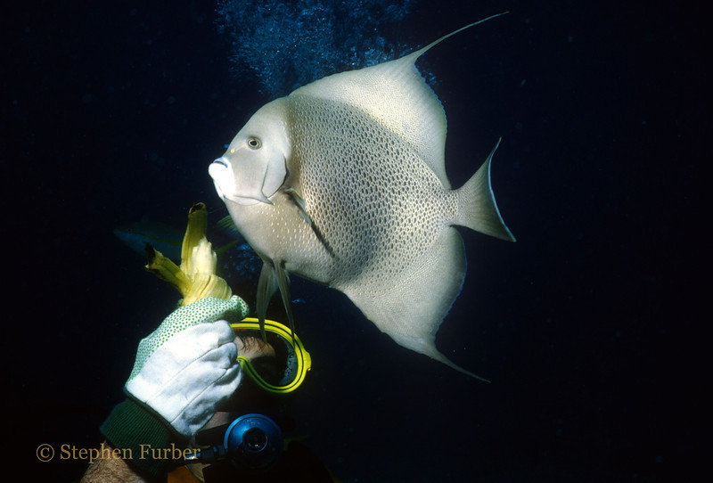 "GRAY ANGELFISH - Back in the ""old days"" we used to feed fish - not any more!"