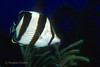 BANDED BUTTERFLYFISH - Dart about reef tops; usually in pairs