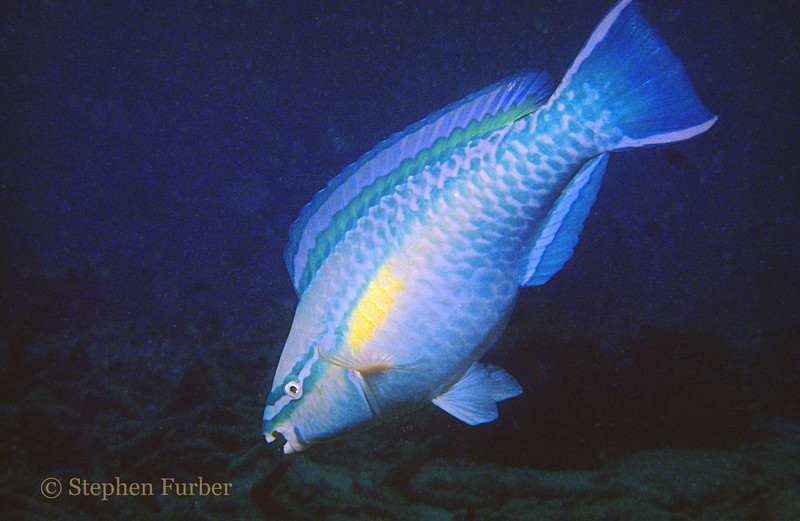 "PRINCESS PARROTFISH - They have powerful ""beaks"" and can be seen stopping and scraping algae from rocks and coral"