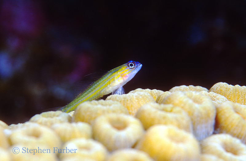 PEPPERMINT GOBY - Electric blue wash on snout