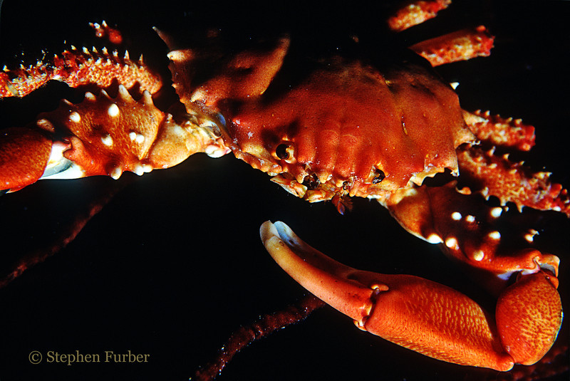 CHANNEL CLINGING CRAB - Often in caves or under ledges during the day; forage at night