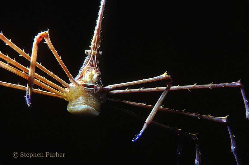 YELLOWLINE ARROWCRAB - Bonaire NA, night close up; actual size 2""