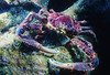 CHANNEL CLINGING CRAB - Reddish brown carapace