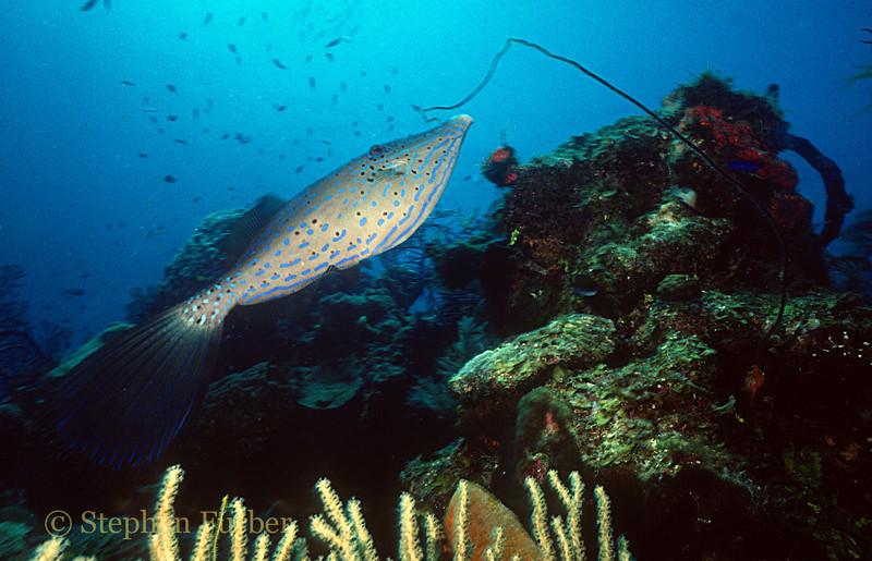 SCRAWLED FILEFISH - Very elegant; drift over reefs, often in open water - fairly shy