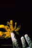 GOLDEN CRINOID - Hide bodies in recesses exposing only arms