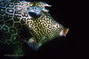 HONEYCOMB COWFISH - Wary, remain motionless, relying on camouflage