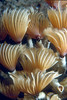 SOCIAL FEATHER DUSTER - Shy; worms retract crowns into tubes when approached