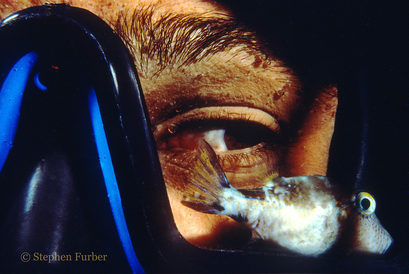 "SHARPNOSE PUFFER - Inside the flooded mask; ""here's lookin' at you kid""!"