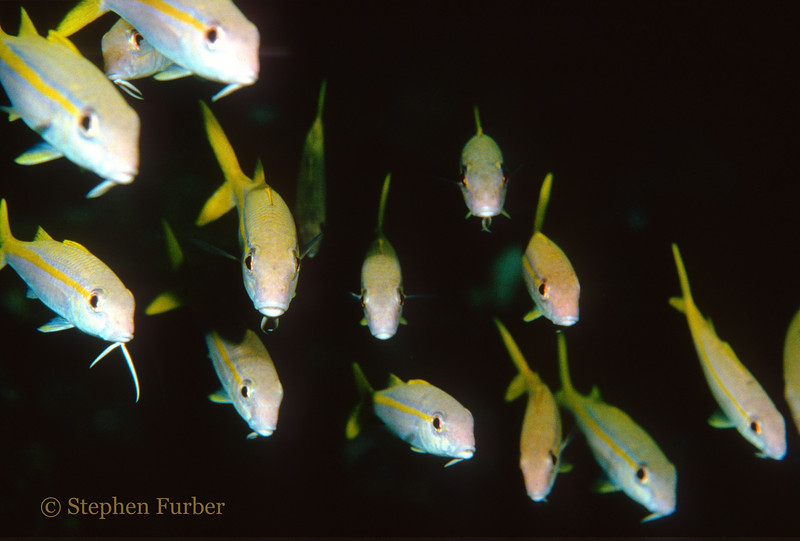 YELLOW GOATFISH - Group photo!